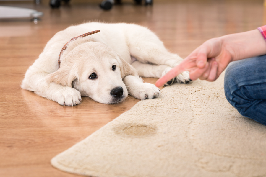 Pet Stain Carpet Cleaning with Dazzle CC
