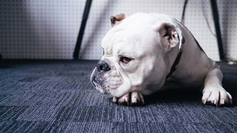 Pet Stain Carpet Cleaning: Dazzle CC