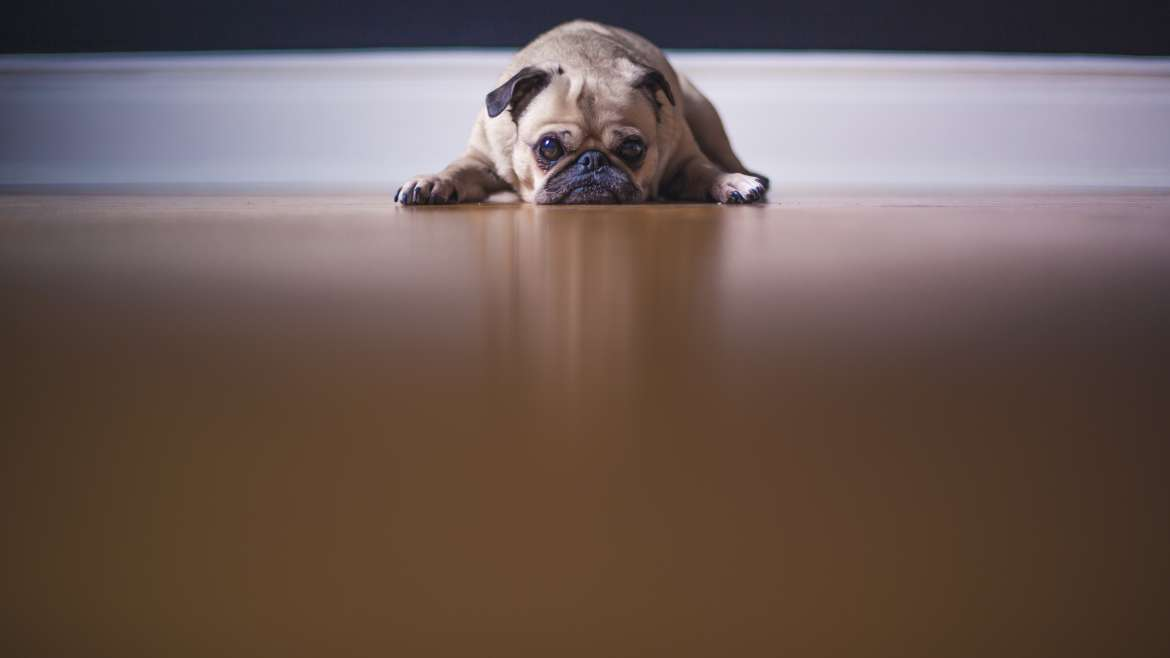 The Easiest Way To Clean Up Dog Pee Dazzle Carpet Cleaning